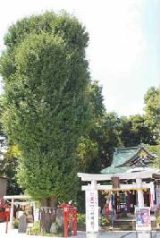 イチョウの木.png